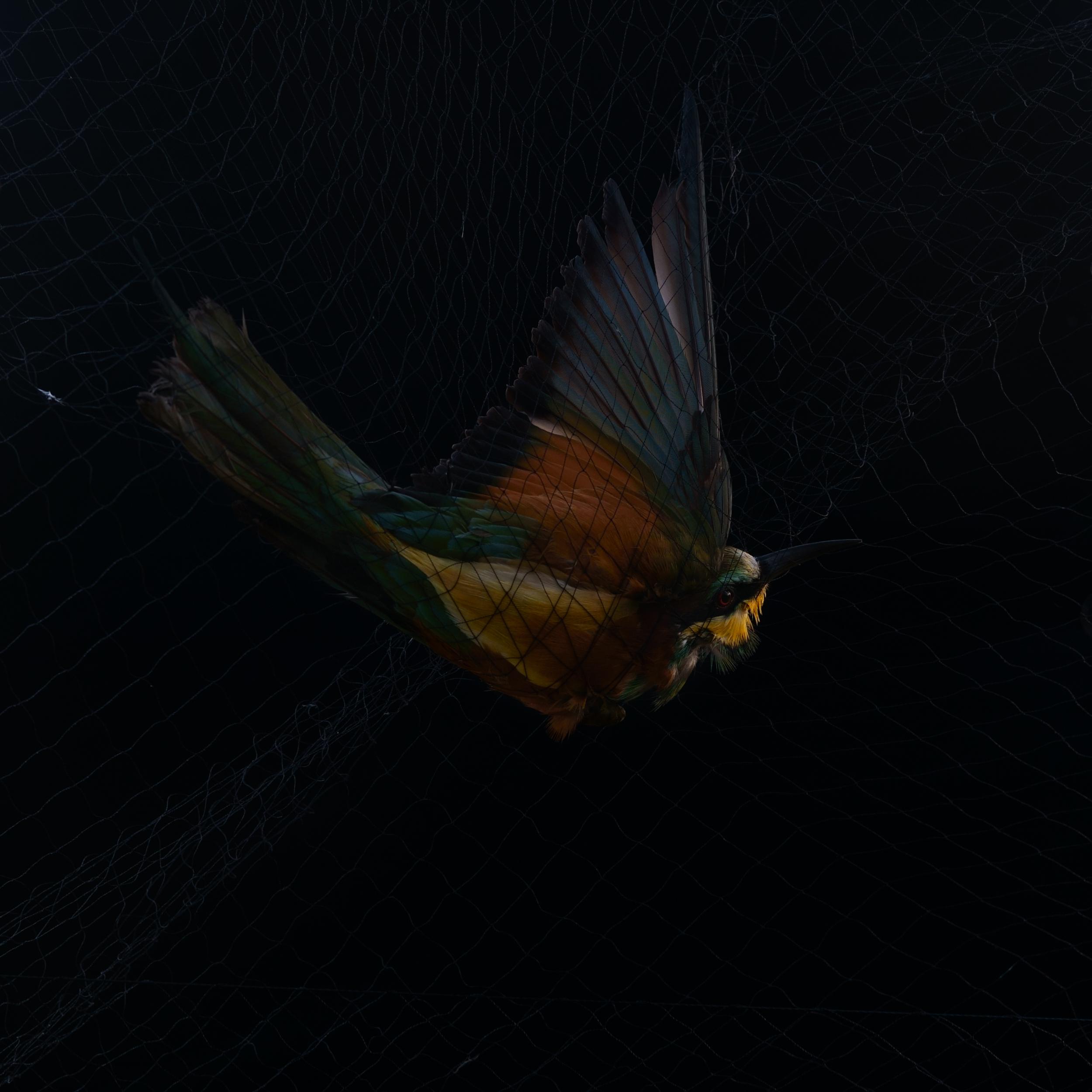 European bee-eater 'Merops apiaster'